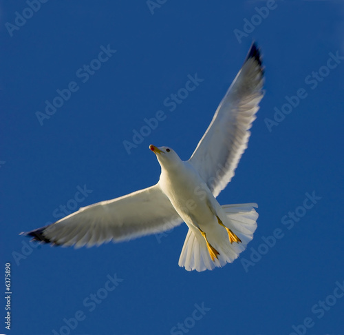 Fotografía  flying seagull in a blue sky
