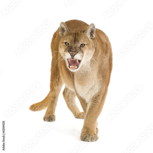 Canvas Prints Puma Puma (17 years) - Puma concolor
