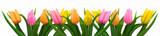 Fototapeta Tulipany - Viele bunte Tulpen
