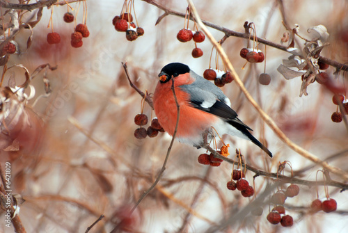 Bullfinch Wallpaper Mural