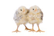 canvas print picture Two small chickens standing next together