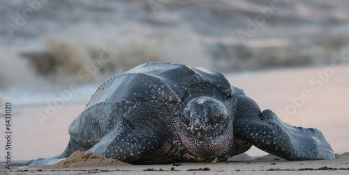 Foto op Canvas Schildpad Leatherback sea turtle, South America