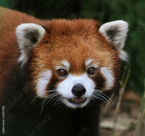 Photo  A Red Panda.Close up.