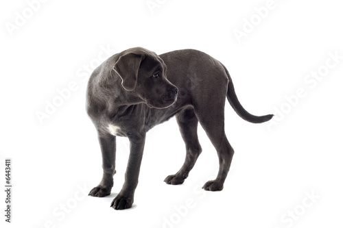 Printed kitchen splashbacks Panther cane corso mastiff puppy dog isolated on a white background