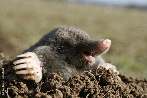 Fotografie, Obraz  black mole