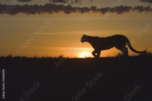 Cougar at dawn