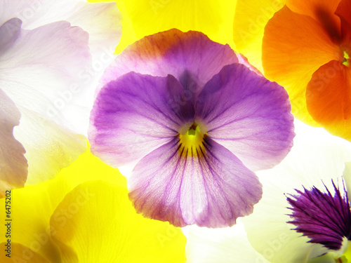 Fotobehang Macro close-up of colourful viola tricolor as a background