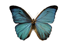 Blue Morpho Butterfly On A White Background