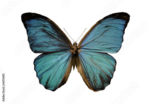 Fototapeta blue morpho butterfly on a white background