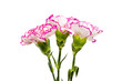 canvas print picture Carnations isolated on a white background.