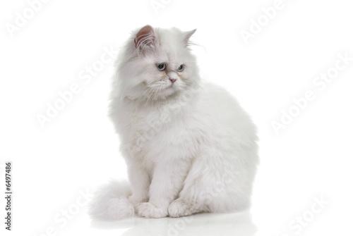 Photographie White cat