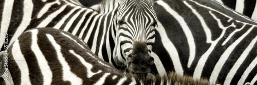 In de dag Zebra Herd of zebra at Masai mara Kenya