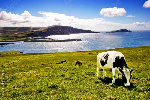 Poster de jardin Vache Vache broutant en bord de mer
