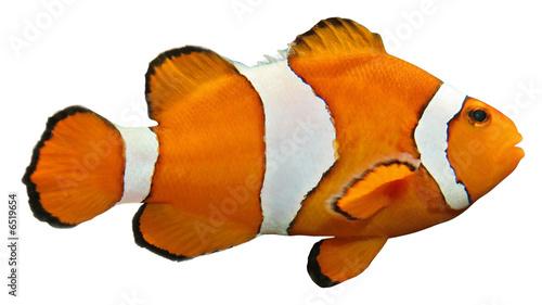 Anemonenfisch Canvas Print