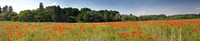 Panoramic View Of The Field With Poppies