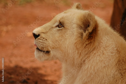Fototapety, obrazy: Lion cub