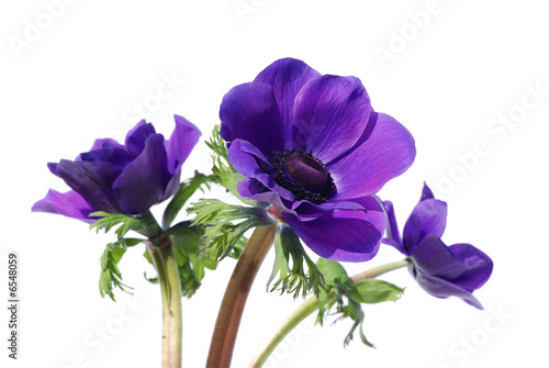 Purple anemone flower isolated on white background Canvas Print