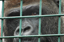 Caged Gorilla