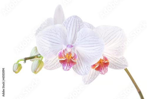 Papiers peints Orchidée orchidee blanche