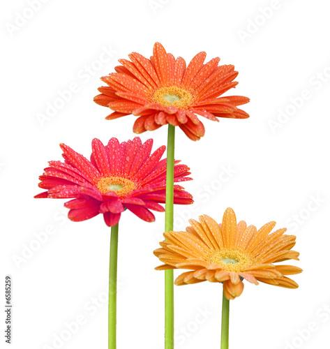 Foto op Aluminium Gerbera fleurs colorées
