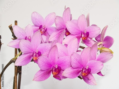 Fototapeta orchidea   kwiaty-orchidei