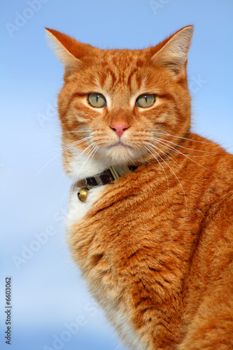 Yellow Tabby Cat Looking 11 Buy This Stock Photo And Explore Similar Images At Adobe Stock Adobe Stock