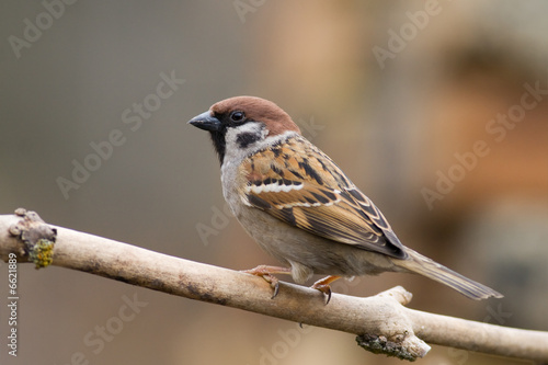 Fotomural tree sparrow (aka passer montanus)