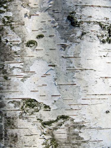 Rinde einer Birke - Textur #6652099