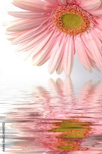 Reflets De Fleur De Gerbera Rose Buy This Stock Photo And Explore