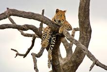 Leopard( Pantera Pardus Lat.) ...