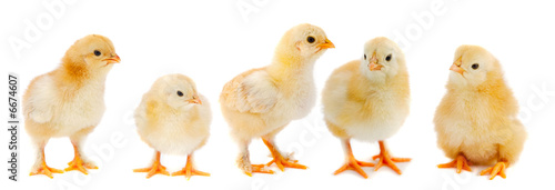 Adorable chicks Fotobehang
