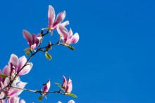 Beautiful Pink Magnolia Flowers Over Blue Sky