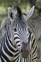 Fototapeta na wymiar Close up of a Burchell's Zebra