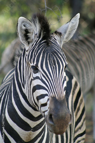 Poster Zebra Close up of a Burchell's Zebra