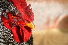 Barred Rock Rooster 5