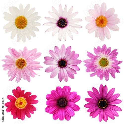 Pink daisy collection Lerretsbilde