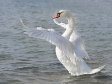 White Swan Ready To Fly
