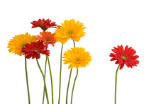 Daisies Isolated On White