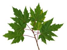 Branch Maple (scan)