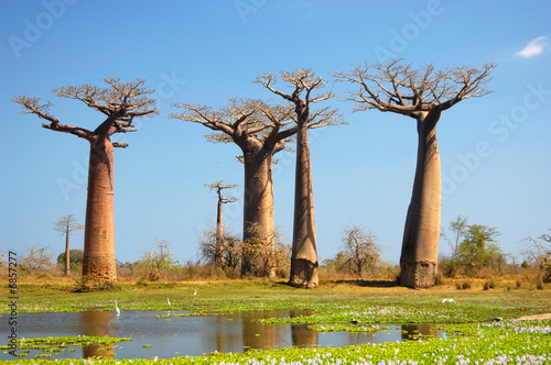 Foto op Plexiglas Baobab field of Baobab trees in Madagascar