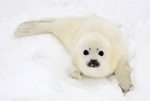 Baby Harp Seal Pup On Ice Of T...
