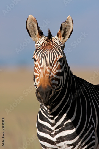 Wall Murals Zebra Cape Mountain Zebra portrait