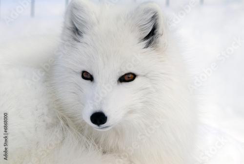 Wallpaper Mural Arctic Fox