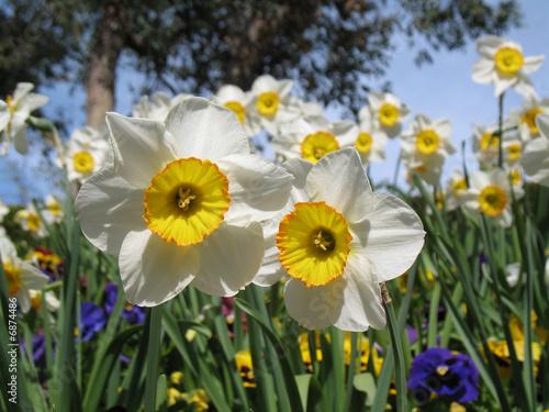 Papiers peints Narcisse Macro jonquilles et pensées