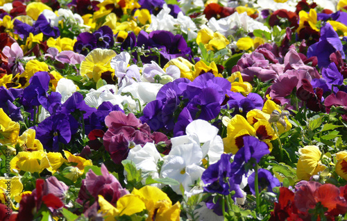 Papiers peints Pansies Flower meadow