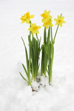 Bunch Of Yellow Spring Daffodils In Snow