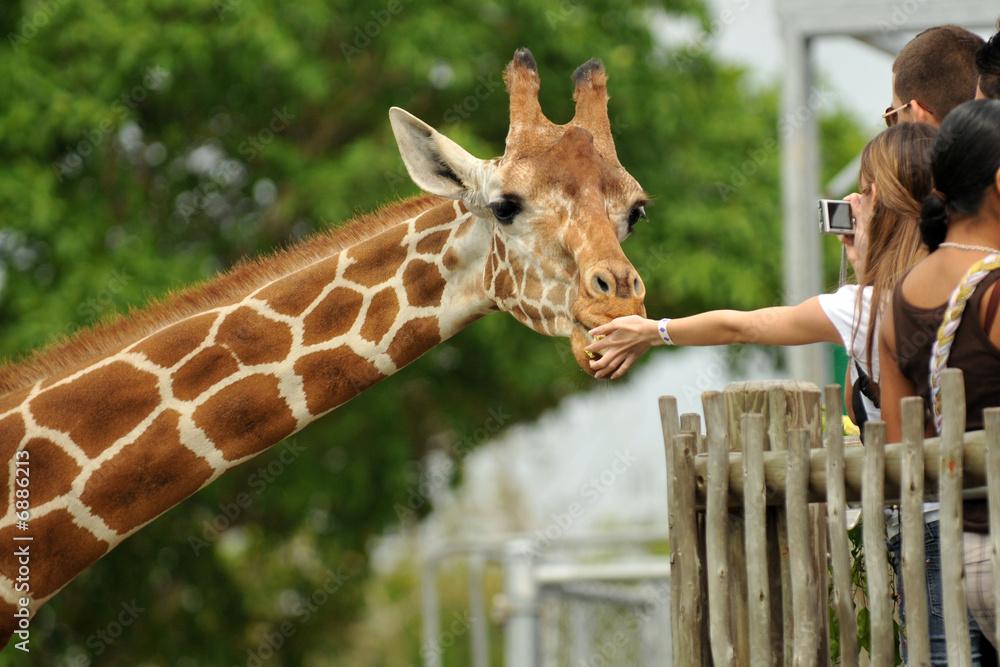 Fototapeta Feeding the Giraffe