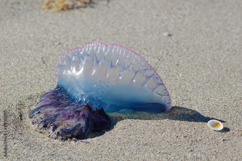 Photo Stranded jelly fish