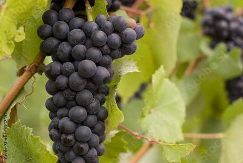 Fotografie, Obraz  Purple or red wine grapes on the vine at the end of summer.