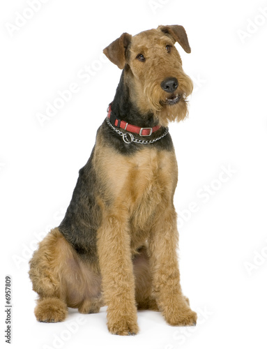 Photo Airedale Terrier (1 year)